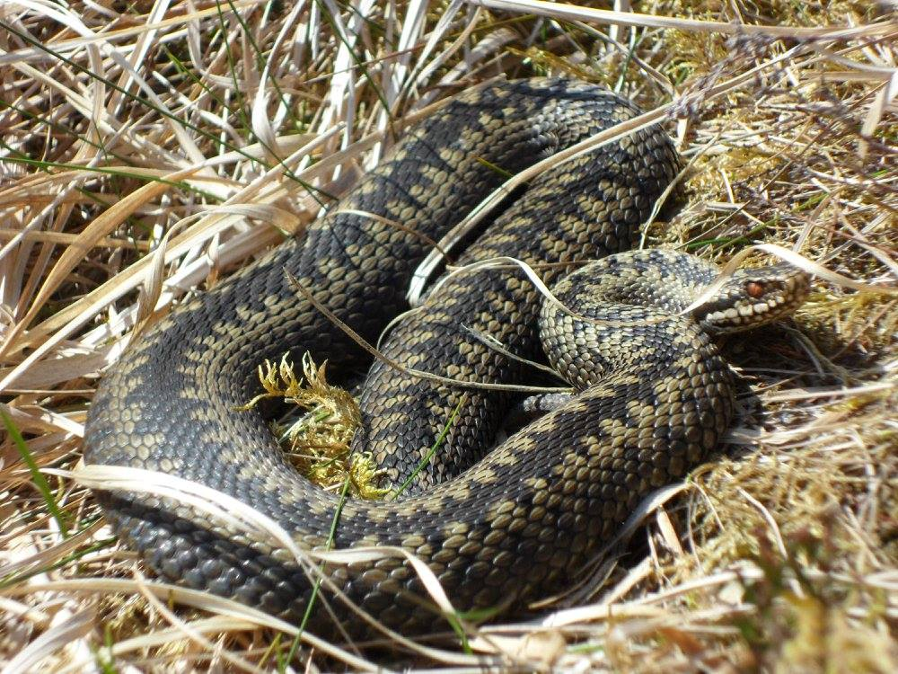 Reptile mitigation presentation at UK adder conference