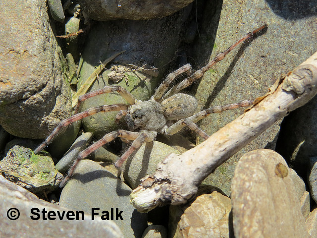 Most northerly Northern bear spider discovered in Scotland, using unusual habitat!