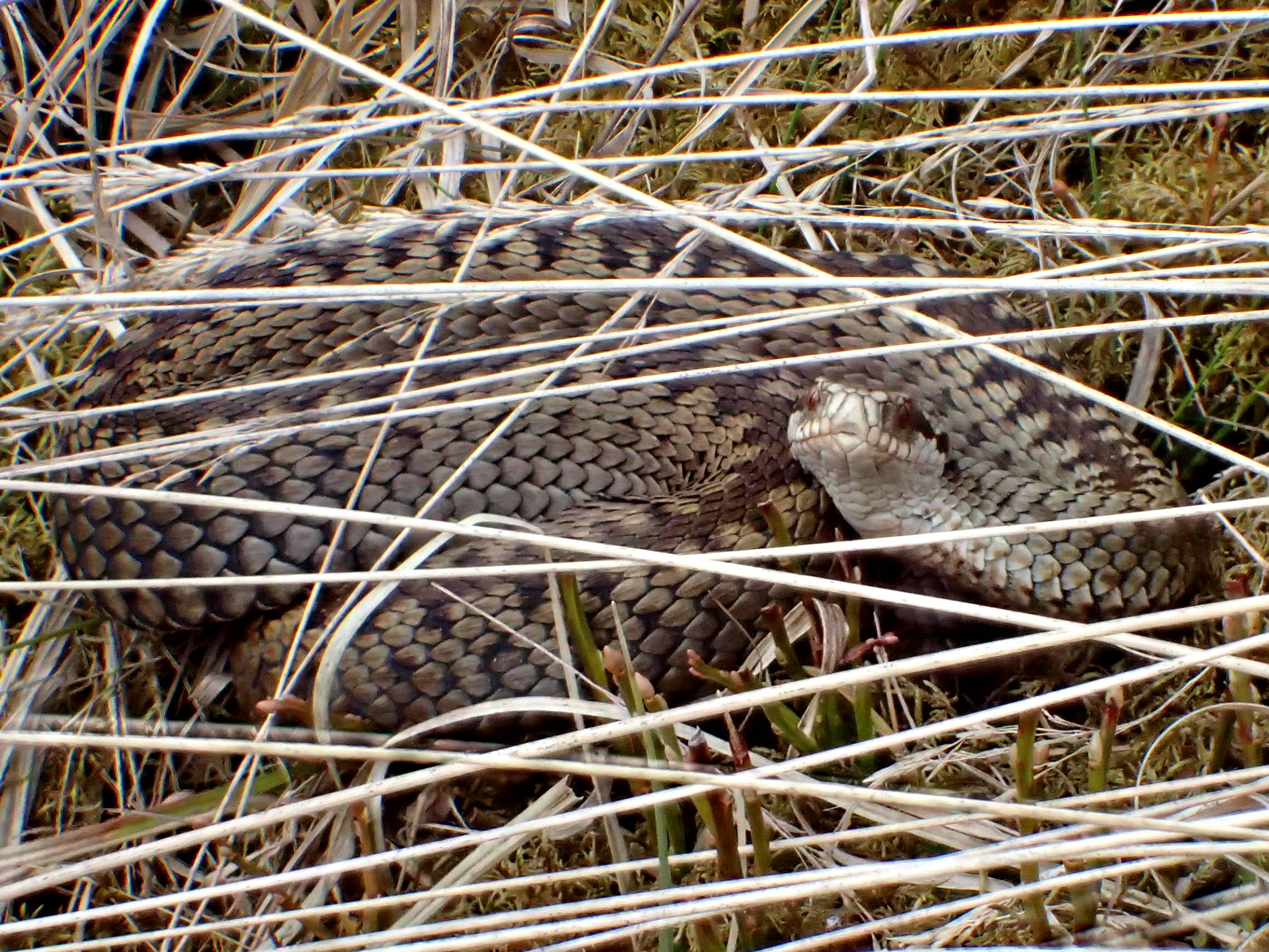 Reptile Survey and Mitigation Guidance for Peatland Habitats Published!